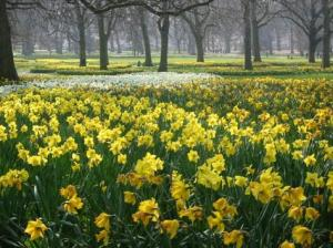p115418-london-daffodils_in_green_park_london