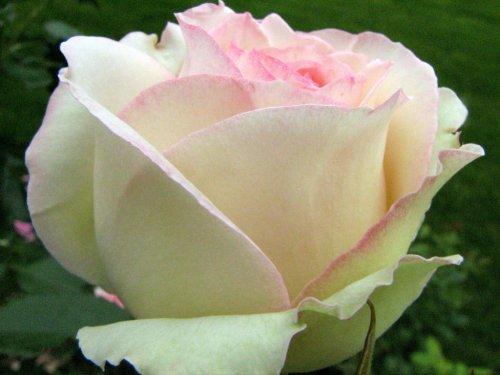 Rose Cultivars Named After Some People Nafff